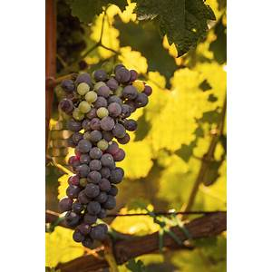Grape growing and wine making tips coupon