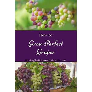 Grow perfect grapes discounts