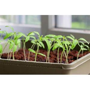 Grow spectacular tomatoes starting today! coupon