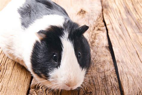 Guinea pig running around cage Image