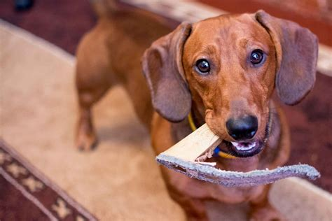 how to train a dog to stop chewing shoes.aspx Image