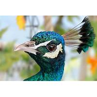 Best how to keep peafowls, peacocks and peahens