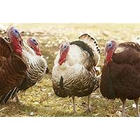 How to raise turkeys secret codes