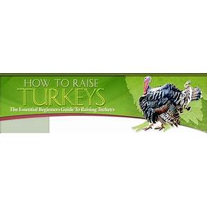 How to raise turkeys essential beginner's guide to raising turkeys home comparison