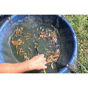 Koi pond koi fish breed koi inexpensive