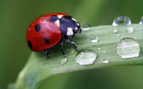 Ladybug Wallpaper HD Wallpapers Download Free Images Wallpaper [1000image.com]
