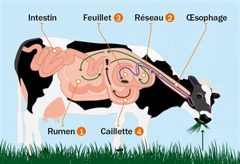 Le R Gime Alimentaire D Une Vache - Teasbox Eu