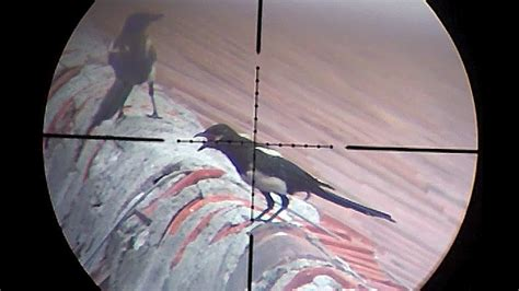 Magpie Shooting With Air Rifle