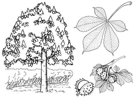 Malvorlage Kastanienbaum