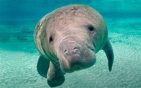 Manatee Wallpaper HD Wallpapers Download Free Images Wallpaper [1000image.com]