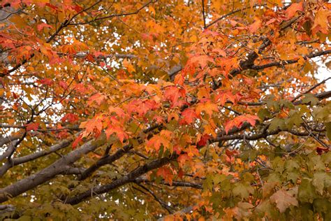 Maple colors Image