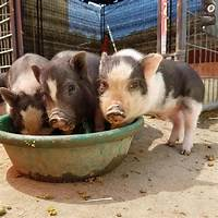 Micro pigs or teacup pigs complete owner's guide does it work?