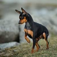 Compare miniature pinscher dog