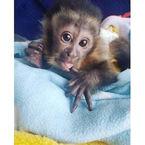 Monkey breeders tutorials