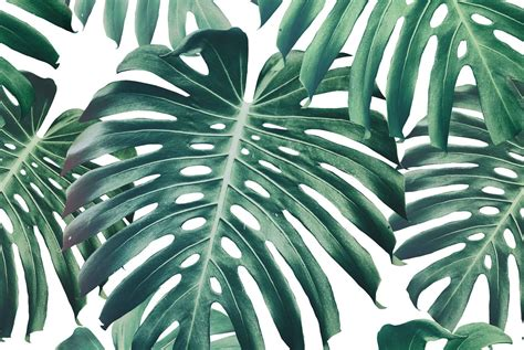 Monstera Wallpaper HD Wallpapers Download Free Images Wallpaper [1000image.com]