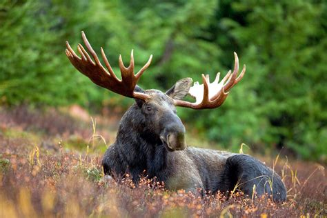 Moose Wallpaper HD Wallpapers Download Free Images Wallpaper [1000image.com]