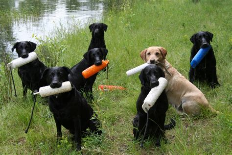 obedience training for labrador retriever puppies.aspx Image