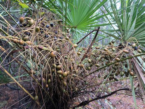 Palmetto Berry Season