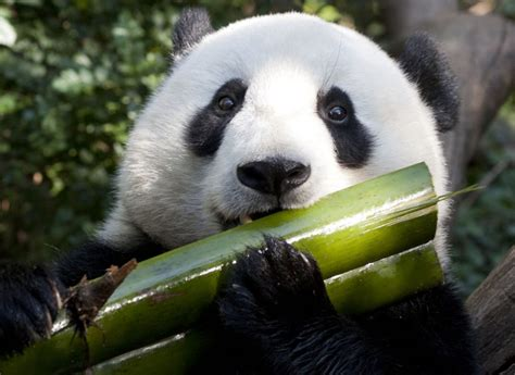Panda Diet