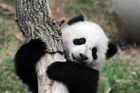 Panda Wallpaper HD Wallpapers Download Free Images Wallpaper [1000image.com]