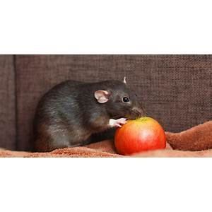 Coupon code for pet rats guide to easy pet rat care and training