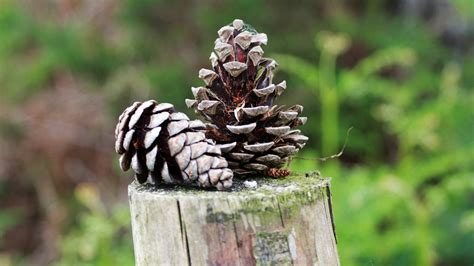 Pinecone Wallpaper HD Wallpapers Download Free Images Wallpaper [1000image.com]
