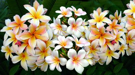 Plumeria Wallpaper HD Wallpapers Download Free Images Wallpaper [1000image.com]