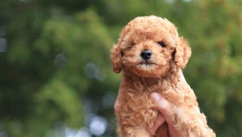Poodle Wallpaper HD Wallpapers Download Free Images Wallpaper [1000image.com]