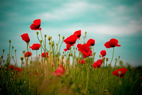 Poppy Wallpaper HD Wallpapers Download Free Images Wallpaper [1000image.com]