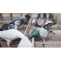 Racing pigeons: how to race, breed, win and makey money that works