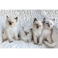 Ragdoll cat secrets pet owners guide inexpensive