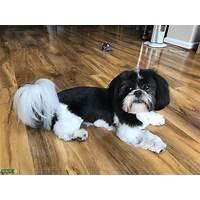 Shih tzu dog training for any shih tsu dog or puppy owner secret