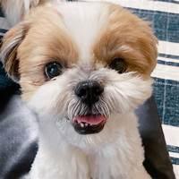 Cash back for shih tzu dog training for any shih tsu dog or puppy owner