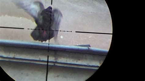Shooting Pigeons With An Air Rifle