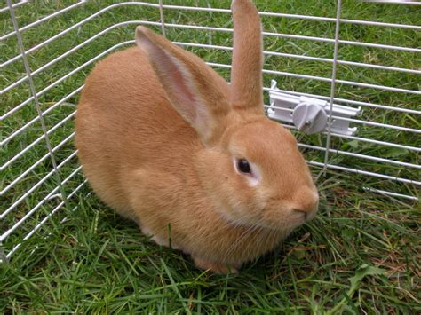 Smallest bunny breed for sale Image