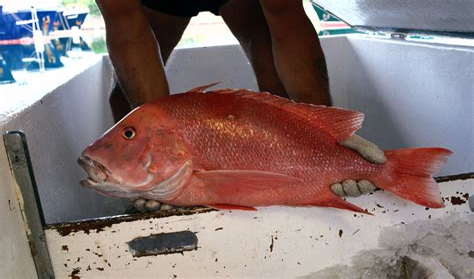 Snapper Fish Watermelon Wallpaper Rainbow Find Free HD for Desktop [freshlhys.tk]