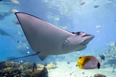 Stingray Wallpaper HD Wallpapers Download Free Images Wallpaper [1000image.com]