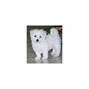 The amazing bichon frise dog everything you must know! coupons