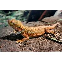 The bearded dragon guide inexpensive