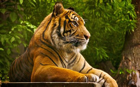 Tiger Wallpaper HD Wallpapers Download Free Images Wallpaper [1000image.com]
