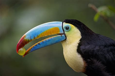 Toucan Wallpaper HD Wallpapers Download Free Images Wallpaper [1000image.com]