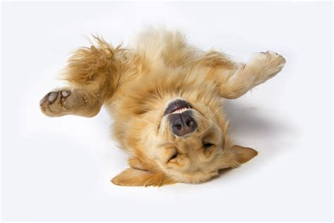train your dog to play dead.aspx Image