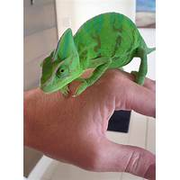 Best veiled chameleons or yemen chameleons facts and information guide online