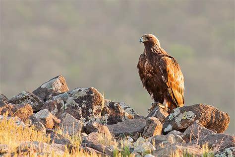 Desert-Eagle What Do Golden Eagles Eat In The Desert.