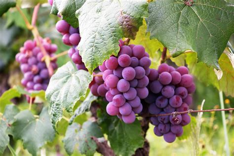 What Seasons Do Grapes Grow