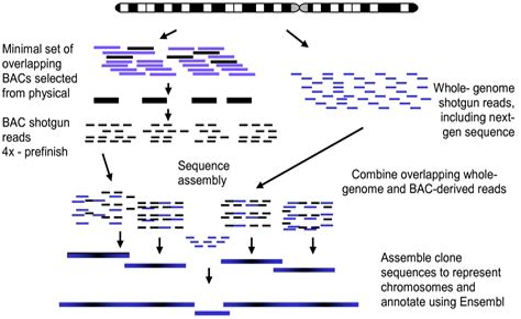 Whole Sequence Shotgun Method Vs Clone Contig Method