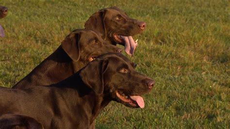 wild sidetv gun dog training Image