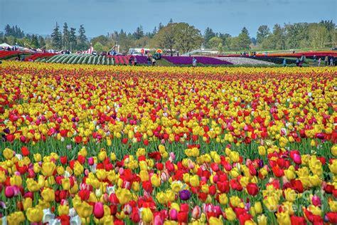 Wooden shoe tulip farm oregon Image